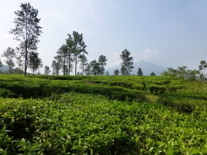 Wayanad tea plantation